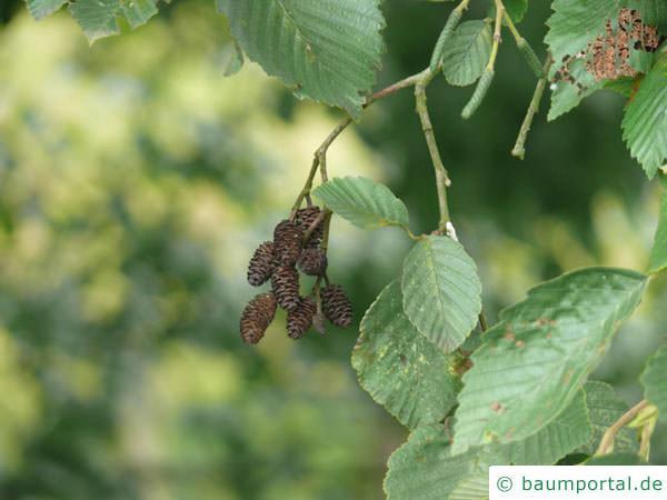Grau-Erle (Alnus incana) Frucht