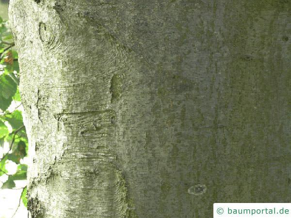 Grau-Erle (Alnus incana) Stamm