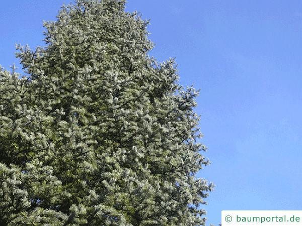 Grautanne (Abies concolor) Baum