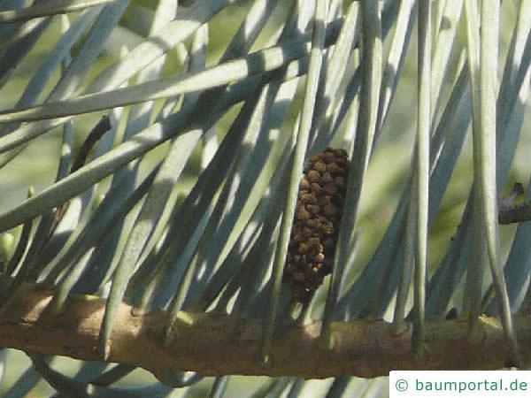 Grautanne (Abies concolor) Nadeln