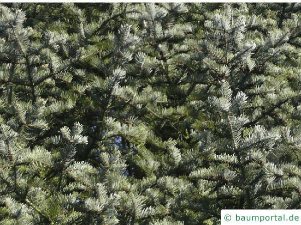 Grautanne (Abies concolor) Zweige