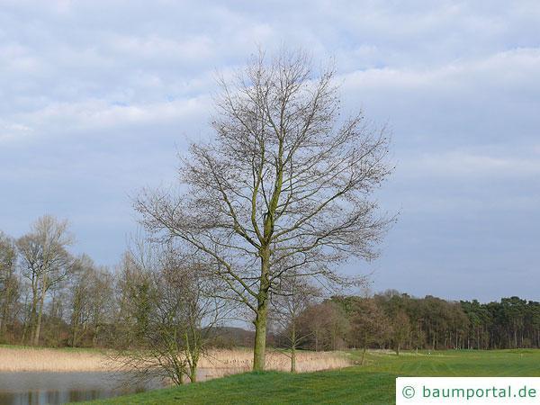 Purpur Erle (Alnus spaethii) im Winter