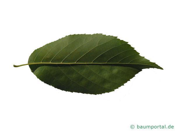 großblättrige Erle (Alnus spaethii) Rückseite des Blattes