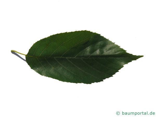 großblättrige Erle (Alnus spaethii) Blatt