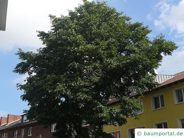 grossblättrige Erle (Alnus spaethii) Krone mit Sommerlaub