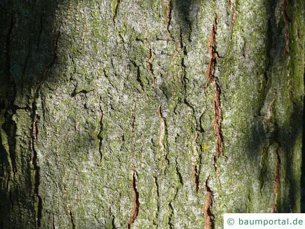 großblättrige Erle (Alnus spaethii) Stamm