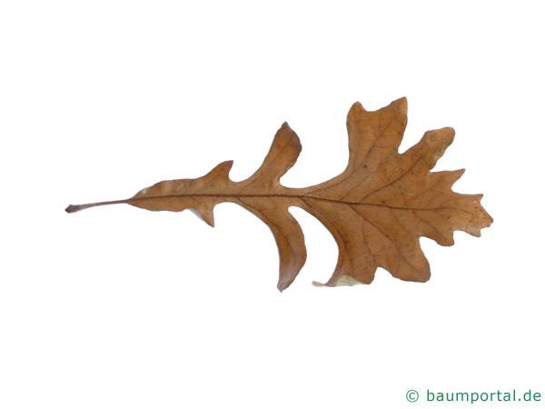 Großfruchtige Eiche (Quercus macrocarpa) Blatt am Ende des Herbstes