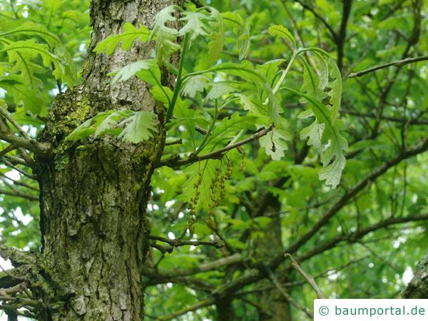 Großfruchtige Eiche (Quercus macrocarpa) Blüten