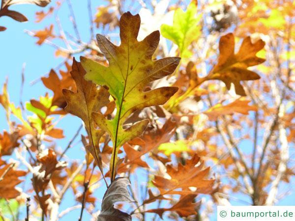 Großfruchtige Eiche (Quercus macrocarpa) Herbstfärbung