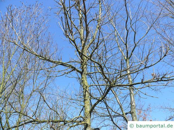 Großfruchtige Eiche (Quercus macrocarpa) die Krone im Winter
