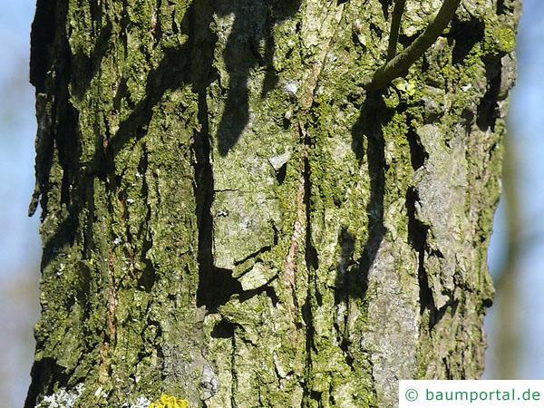 Großfruchtige Eiche (Quercus macrocarpa) Stamm / Rinde / Borke