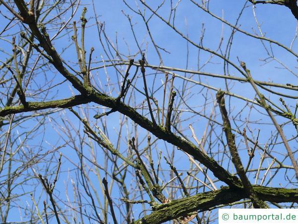 Großfruchtige Eiche (Quercus macrocarpa) Zweige