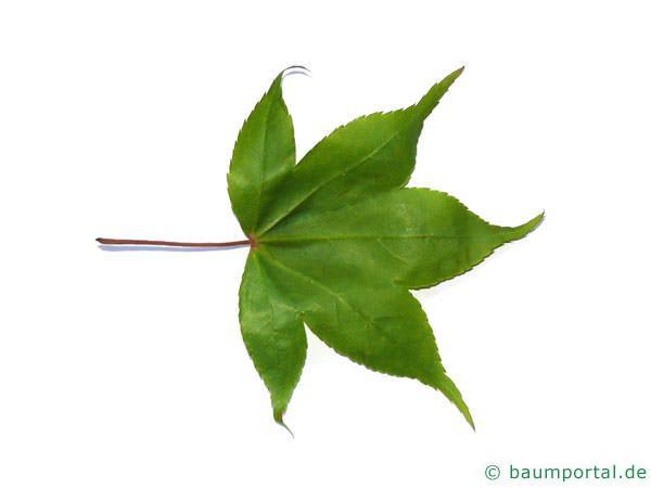 grüner Fächer-Ahorn (Acer palmatum 'Ozakazuki') Blattunterseite