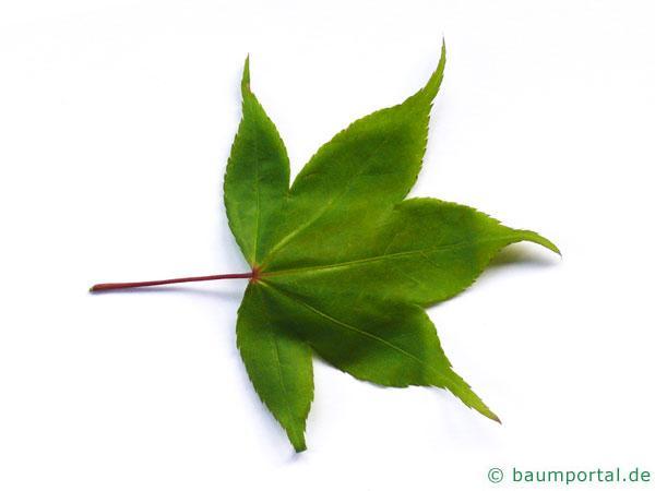 grüner Fächer-Ahorn (Acer palmatum 'Ozakazuki') Blatt