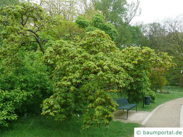 grüner Fächer-Ahorn (Acer palmatum 'Ozakazuki') Baum