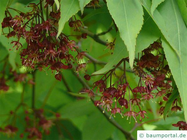 grüner Fächer-Ahorn (Acer palmatum 'Ozakazuki') Blüte