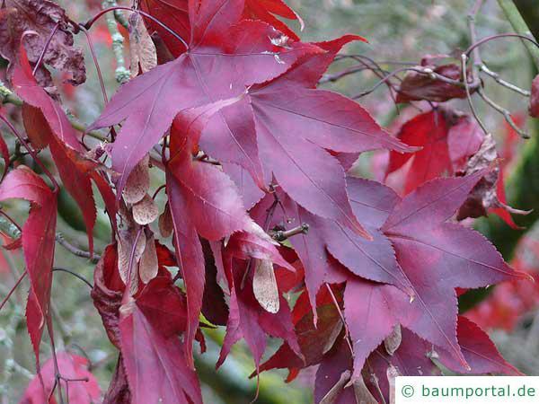 grüner Fächer-Ahorn (Acer palmatum 'Ozakazuki') im Herbst