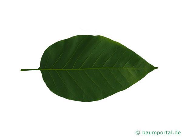 Gurken-Magnolie (Magnolia acuminata) Blatt Unterseite