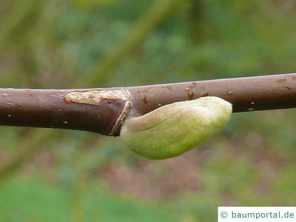 Gurken-Magnolie (Magnolia acuminata) Seitenknospe