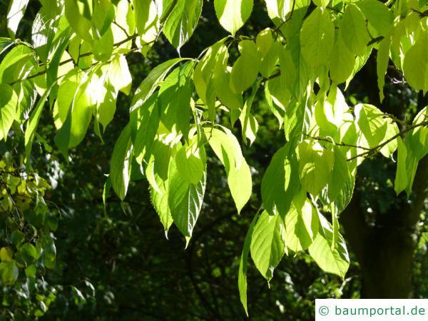 Gutaperchabaum (Eucommia ulmoides) Blätter