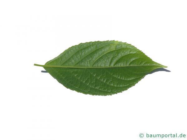 Gutaperchabaum (Eucommia ulmoides) Blatt Unterseite