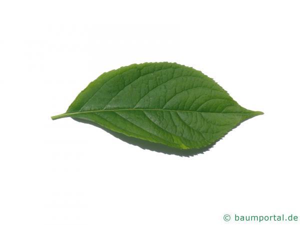 Gutaperchabaum (Eucommia ulmoides) Blatt