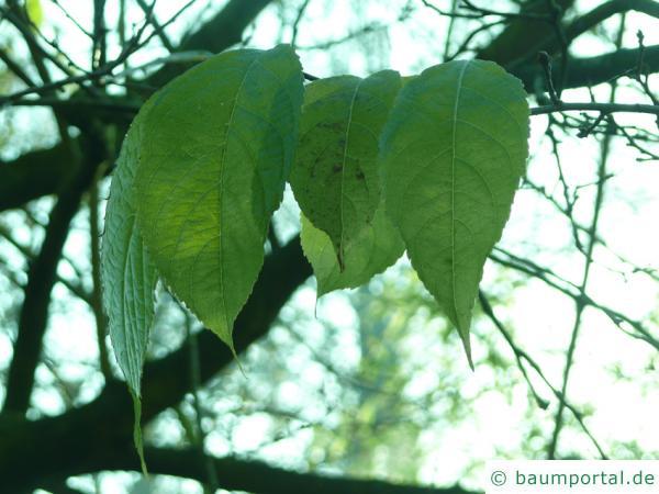 Gutaperchabaum (Eucommia ulmoides) Blätter im Herbst