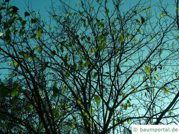 Gutaperchabaum (Eucommia ulmoides) Krone im Herbst