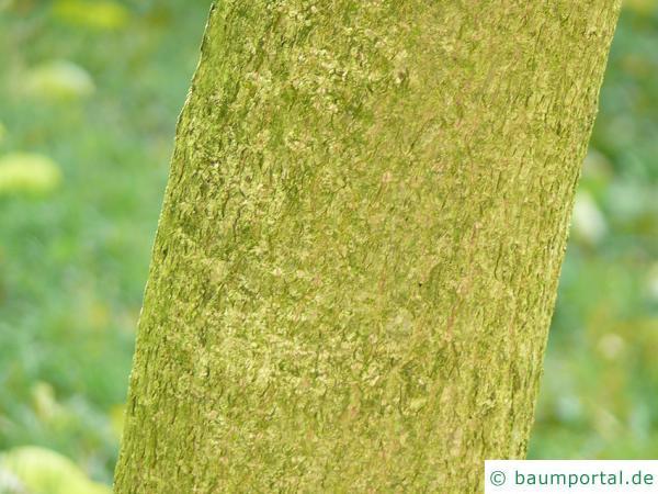 Gutaperchabaum (Eucommia ulmoides)  Stamm / Rinde / Borke