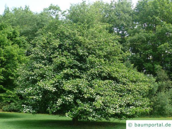Hahnendorn (Crataegus crus-galli) Baum im Sommer