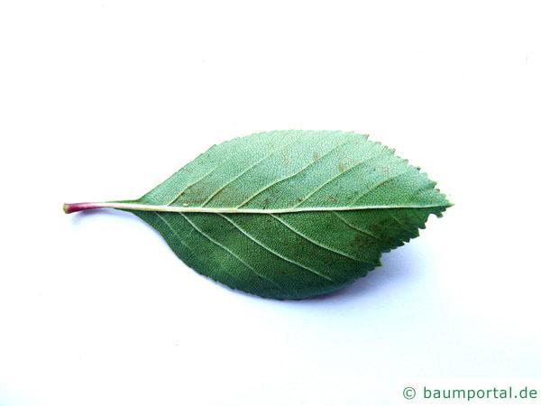 Hahnendorn (Crataegus crus-galli) Blattunterseite