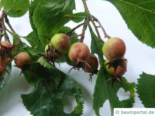Hahnendorn (Crataegus crus-galli) Frucht