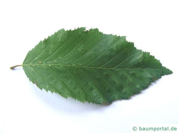 Top Hainbuche | Carpinus betulus &DQ_33