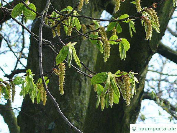 Hainbuche (Carpinus betulus) Blüten im Frühjahr