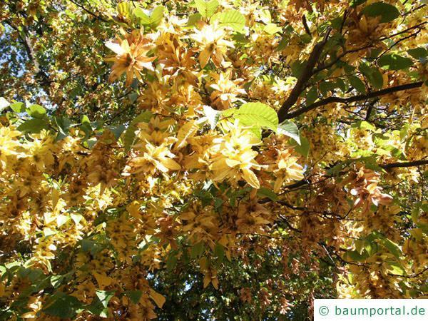 Hainbuche (Carpinus betulus) Früchtre im Frühherbst
