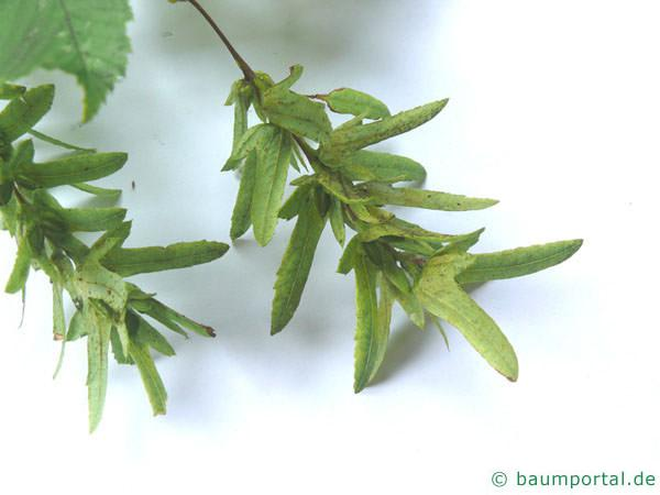 Hainbuche (Carpinus betulus) Frucht