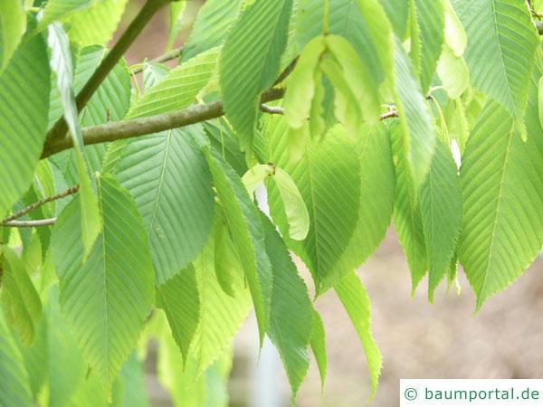 hainbuchenblättrige Ahorn (Acer carpinifolium) Blätter und Frucht