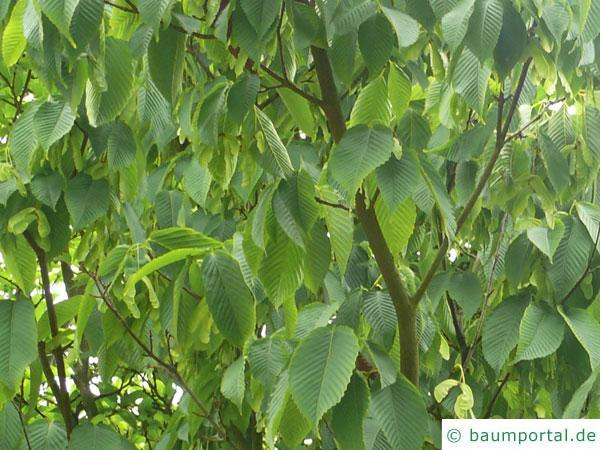 hainbuchenblättrige Ahorn (Acer carpinifolium) Blätter