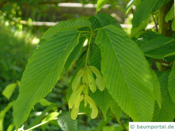hainbuchenblättrige Ahorn (Acer carpinifolium) Blätter und Früchte