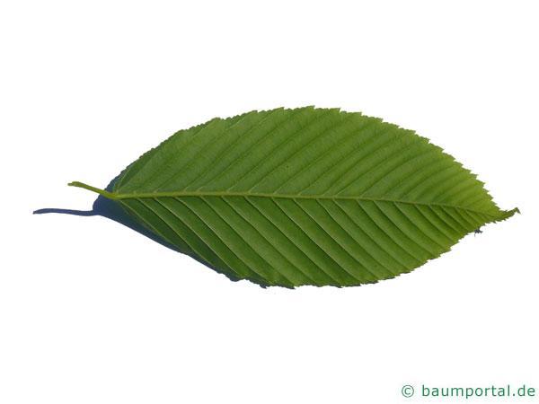 hainbuchenblättrige Ahorn (Acer carpinifolium) Blattuntersite