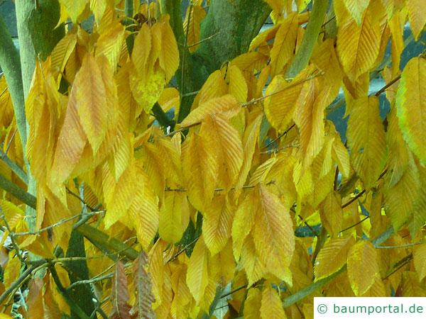 hainbuchenblättrige Ahorn (Acer carpinifolium) Herbstlaub