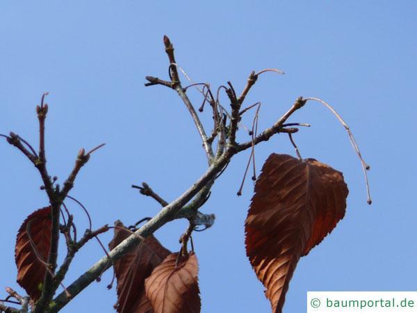 hainbuchenblättrige Ahorn (Acer carpinifolium) Knospen im Winter