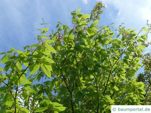 hainbuchenblättrige Ahorn (Acer carpinifolium) Krone im Sommer