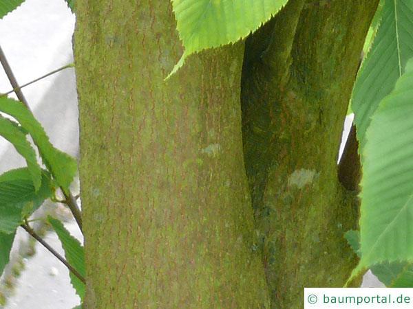 hainbuchenblättrige Ahorn (Acer carpinifolium) Stamm / Rinde / Borke