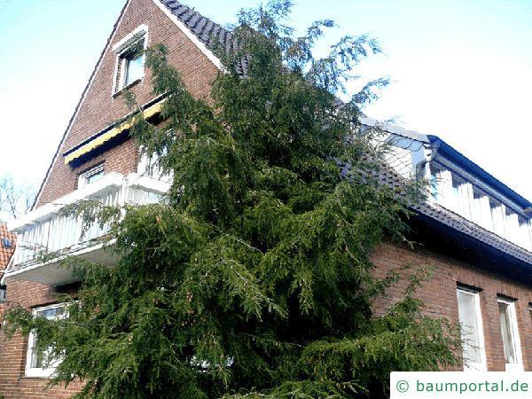 Hemlocks-Tanne (Tsuga canadensis) Baum