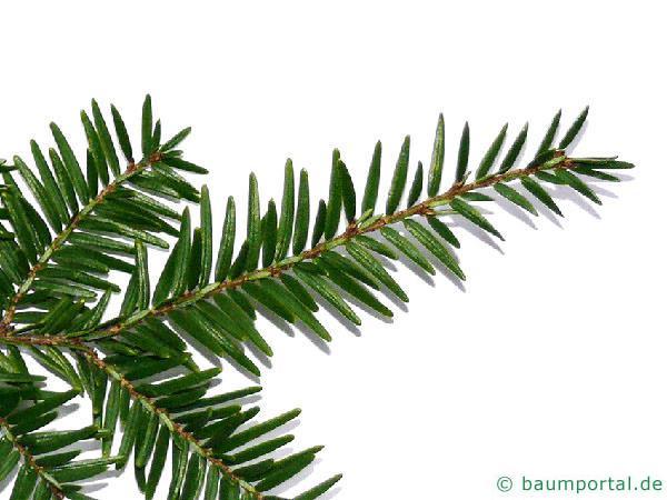 Hemlocks-Tanne (Tsuga canadensis) Nadeln