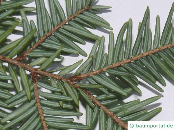 Hemlocks-Tanne (Tsuga canadensis) Nadelrueckseite