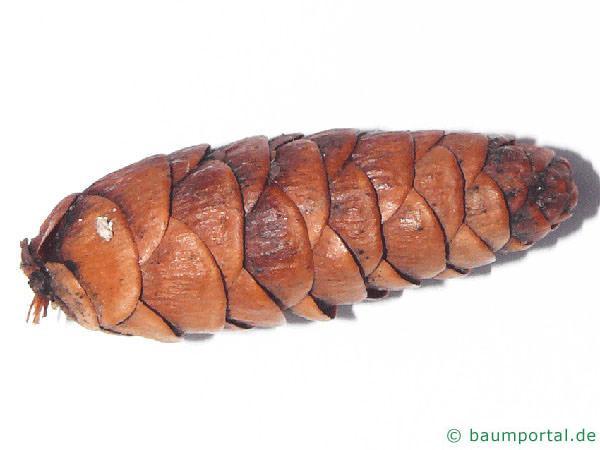 Hemlocks-Tanne (Tsuga canadensis) Zapfen