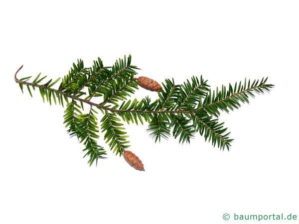 Hemlocks-Tanne (Tsuga canadensis) Zweig