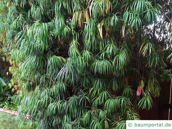 Henkels Gelbholz (Podocarpus henkelii) Baum